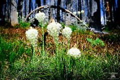 _JHH6743 (Jason Hummel Photography) Tags: beargrass mountadams mountadamswilderness flora flowers pacificnorthwest volcano forestfire burn