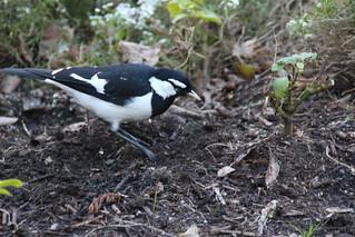 Peewee, Wollongong Botanical Gardens