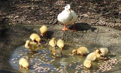 """Mother duck : """"They're a 'handful' but they're all mine & I love them!!!"""" (blue33hibiscus) Tags: duck duckling bird waterfowl axevalleywildlifepark axminster devon"""