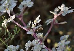 Mellowing Out (harefoot1066) Tags: amaranthaceae tidestromia woollytidestromia tidestromialanuginosa lepidoptera moth pyraloidea crambidae spilomelinae spoladea spoladearecurvalis beetwebwormmoth