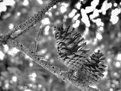 Piñas y telarañas (ntnlsk) Tags: piña cono árbol bosque macro méxico mexicocity nikon nature