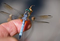 Dragonflies soft touch! (ineedathis, Everyday I get up, it's a great day!) Tags: dragonfly bluedasher pachydiplaxlongipennis male hand finger closeup odonata insect epiprocta anisoptera bokeh λιβελλουλη nikond750 garden nature summer myfinger macro reflections