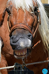 Je m'éclate ! (KevinBJensen) Tags: horse cheval portrait provence nikon d3300 brown white teeth water drops gouttes deau animals animal macro closeup
