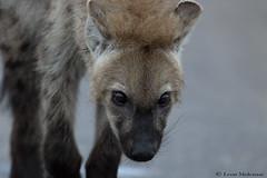 Juvenile Spotted Hyena (leendert3) Tags: leonmolenaar southafrica krugernationalpark wildlife nature spottedhyena mammals