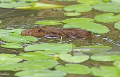 Water Vole (Gary Chalker, Thanks for over 3,000,000. views) Tags: watervole vole mammal pentax pentaxk3ii k3ii pentaxfa600mmf4edif fa600mmf4edif fa600mm 600mm