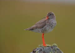 Redshank (Martial2010) Tags: redshank north uist post outer hebrides scotland canon