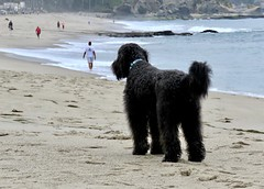 Benni checks it out (Bennilover) Tags: dog dogs beaches lagunabeach montageresort labradoodle zoomies benni ocean pacific sea