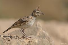 Cogujada común (Sento74) Tags: cogujadacomún galeridacristata aves birds fauna nikond500 tamron150600g2