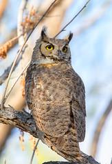 Great Horned Owl (Ed Sivon) Tags: america canon nature lasvegas wildlife wild western southwest desert clarkcounty vegas flickr birdofprey henderson nevada
