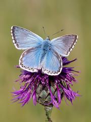 Chalkhill Blue (chaz jackson) Tags: chalkhillblue polyommatuscoridon lycaenidae chalk hill blue chalkhill butterfly insect