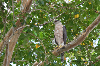 My friend, Coop, a Cooper's Hawk back again for 3rd year in back yard