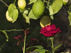 Friday Flower Power (doro 51) Tags: rose zitrone lemon samos greece gr dorophoto 2018