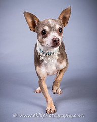 CRT-20180711_Gracie-12.JPG (Alfred Kirst III) Tags: akiii photography alfred kirst iii chihuahua rescue transport long hair blond male 2142894889 ak3photography akiiiphotography alfredkirstiii alienbees chi dog malechihuahua paulcbuff texas adoptablepuppies chihuahuarescueandtransport cute cutepuppy cutie female femalechihuahua foster fosterdog fosterpuppies longhairchihuahua oldman plano shorthairchihuahua zukepets zukes longhairblondchihuahua