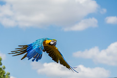 Parrot (Andy barclay) Tags: wildlife nikon d7100 woodside nature animals parrot flying fly blue yellow bird sky