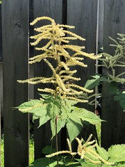What is this? (mossyfern3) Tags: plant identify outside weed pacific northwest garden