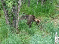 DSC07538 (jrucker94) Tags: alaska katmai katmainationalpark nationalpark bear bears grizzly grizzlybear brooksriver nature outdoors