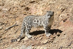 Panthère des neiges (Passion Animaux & Photos) Tags: panthere neiges once snow leopard panthera uncia parc animalier auvergne france