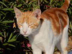 Pefkos Cat (deltrems) Tags: greek greece rhodes rodos pefki pefkos pefkoi island hellas mediterranean med animal cat puss pussy pussycat feral feeding station area