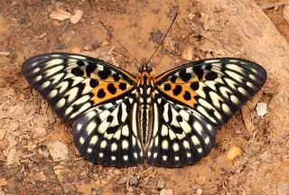 The Panther (Neurosigma siva, Limenitidinae, Nymphalidae)