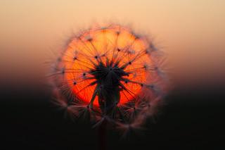 sunset, dandelion