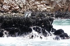 ready steady go!? Humboldt penguins Islas Ballestas Paracas Peru (roli_b) Tags: humboldt penguins islas ballestas paracas pisco peru animal pinguin jump jumping water nature natur landscape sea seascape reserva nacional national