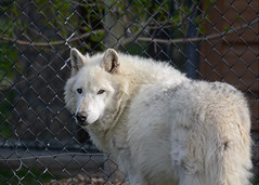 Grey wolf (RivetsnFeathers) Tags: grey wolf wolves animal animals canis lupus canid
