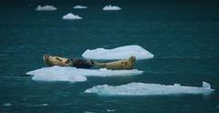 Laid back (debamalya.chatterjee) Tags: seal seals aquaticanimal wildlife wildlifephotography ice kenaifjord kenaifjordnationalpark nikon nature naturephotography alaska