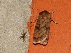 Xestia sexstrigata (natali22206) Tags: бабочка ночныебабочки макро насекомые moth macro insect insects xestiasexstrigata