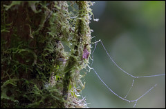 Web of tears (G. Postlethwaite esq.) Tags: costarica dof villablanca beyondbokeh bokeh centralamerica depthoffield dew drops moss photoborder rainforest selectivefocus tree web