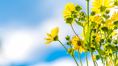 Blue, yellow and green (Cyclase) Tags: himmel sky blue white weiss blau blumen flowers yellow gelb happy sunny nature plant outdoor garden blooming blühen blüte blossom frühling sommer summer spring sun petal flora beauty schön