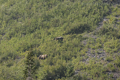 "Grizzly Bears • <a style=""font-size:0.8em;"" href=""http://www.flickr.com/photos/63501323@N07/29045150377/"" target=""_blank"">View on Flickr</a>"