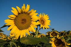 Sunny Days (Nancy King Photography) Tags: pollen flowers sunflowers colorado