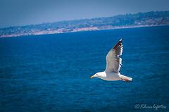 Seagull at La Jolla, CA (KHanFotos) Tags: wildlife photography canon birds travel california la jolla beach summer san diego