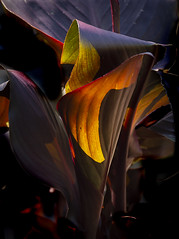 light through canna (Wendy:) Tags: canna lily light leaves