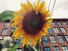 222/365 (moke076) Tags: 2018 365 project 365project project365 oneaday photoaday iphone cell cellphone mobile sunflower flower plant nature bee large huge atlanta cabbagetown cotton mill loft building city