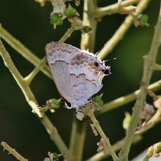 Strymon albata, White Scrub-hairstreak