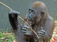 western lowlandgorilla Yanga Artis JN6A1339 (j.a.kok) Tags: gorilla westelijkelaaglandgorilla westernlowlandgorilla lowlandgorilla laaglandgorilla yanga animal artis africa afrika aap ape mammal monkey mensaap primate primaat zoogdier dier