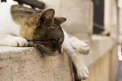 Sleepy Kitty (Norse_Ninja) Tags: cat kitty pet croatia dubrovnik old town panasonich gh5 journeyjd17