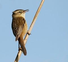 Sedge Warbler (Acrocephalus schoenobaenus) (Geoff Head*) Tags: sedgewarbler naturephotography canon7dmark2 nature rspb ukbirds uknaturephotography somersetphotography somerset somersetlevels birdphotography biritishbirds