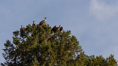 vultures on trees (The eclectic Oneironaut) Tags: 2018 6d canon cumplemariano eos españa lagunadecontreras segovia spain vultures buitres castilla y leon castillayleón es
