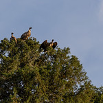 vultures on trees thumbnail