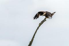 Majestueux (Dalt-Gilles) Tags: oiseau milannoir rapace nacreimagesstagesphotos stagesphotos coursphoto formationphoto caen normandie calvados cotentin manche