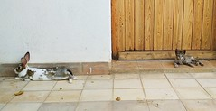 In my garden (Panoussiadis.) Tags: rabbit lapin cat chat maroc