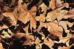 Fin del Otoño 2018 (FlorPizzichillo) Tags: autumn leaves buenos aires argetina winter nikon d3400 photography