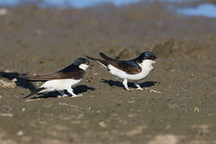 house martins (simonrowlands) Tags: house martins delichon urbica hirrundine white rump shallow forked tail migrant mud nest