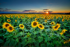Sunflowers at Sunset (Greg from Maine) Tags: sunflowers sunflowerfield maine agriculture seeds nature landscape farming buckfarms mapleton mapletonmaine aroostookcounty