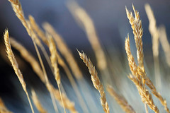 gradient (JonathanCohen) Tags: summer lateafternoon grass stalk goldenhour sunset closeup macro dof
