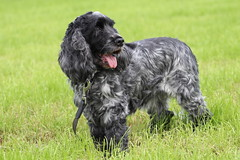 My sweet Dog  & Best Friend Golden Moment (excellentzebu1050) Tags: cockerspaniel cocker spaniel dog pet farm field grass animal coth5 sunrays5