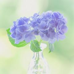 Hydrangea (paulapics2) Tags: flower hydrangea flora blue green plant summer cool canoneos5dmarkiii canonef7300mmf456lisusm 7dwf