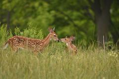 Fawns (Rob E Twoo) Tags: naturaleza nature wildlife toronto canada outdoor explore deer fawn